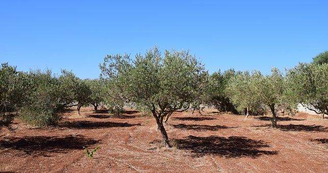 Ayudas para paliar los efectos de la sequía en el olivar en el Norte de la Provincia
