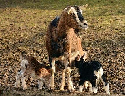 Algunas cuestiones sobre la cabra: La vida de las cabras  y los chivos