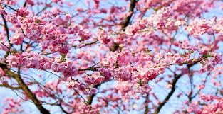 Ya está publicada la programación oficial completa de la primavera y cerezo en flor 2018