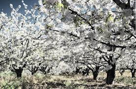 La Mancomunidad del Valle del Jerte vaticina que la floración de cerezos se retrasará hasta principios de abril