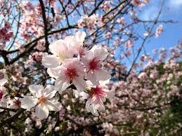 La floración de los cerezos del Valle del Jerte alcanzará su máximo esplendor esta semana