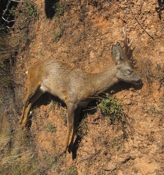 Denunciado un cazador de Plasencia por abatir a un corzo sin autorización en Aylagas (Soria)