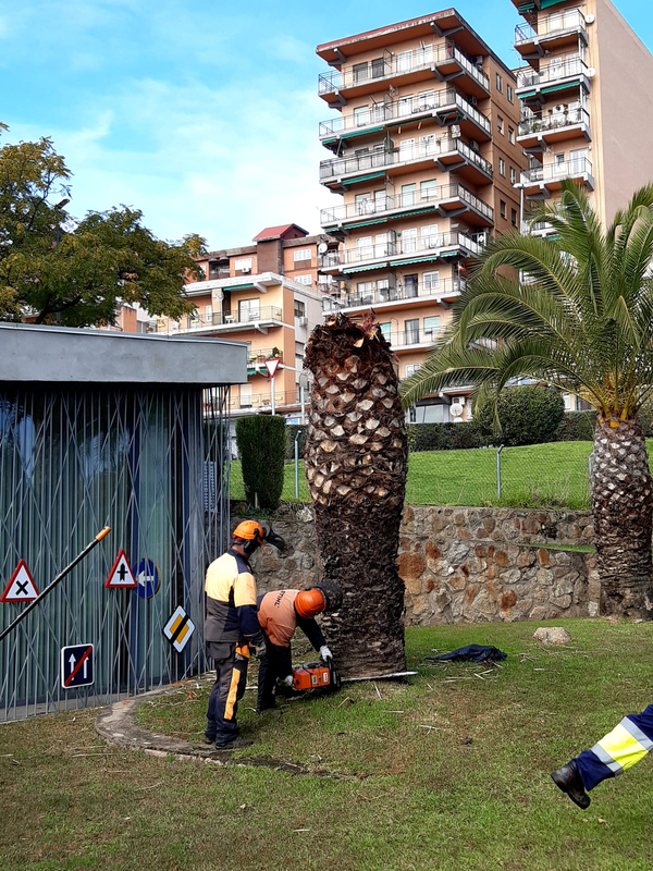 La Concejalía de Medio Ambiente comienza con la retirada y tratamiento de las palmeras afectadas por el 'picudo rojo'